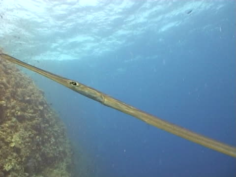 flutemouth, trumpetfish ms reef behind - gill stock videos & royalty-free footage