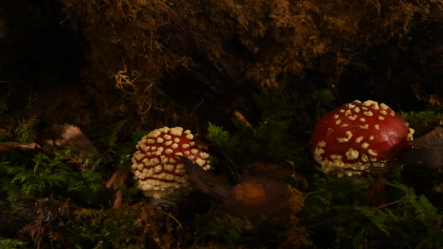 fly agaric amanita mascara 2 mushrooms toadstools growing on woodland floor time lapse. filmed over 3 days - symbiotic relationship stock videos & royalty-free footage