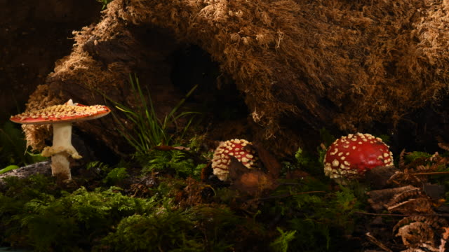 fly agaric amanita mascara 3 mushrooms toadstools growing on woodland floor time lapse. filmed over 3 days - symbiotic relationship stock videos & royalty-free footage