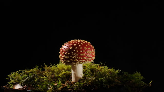 fly agaric amanita muscaria mushroom toadstool growing time lapse. young to fully open rowing out of moss, isolated black background - growth stock videos & royalty-free footage