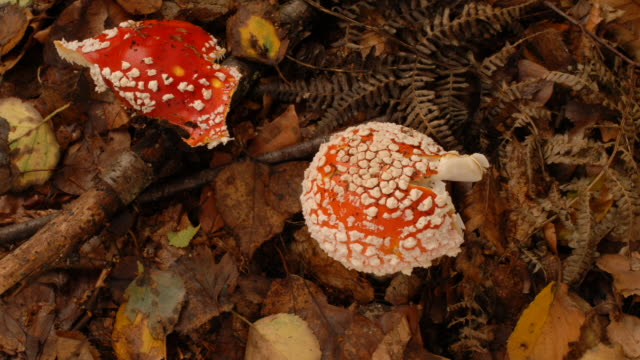 t/l fly agaric (amanita muscari) fungus emerging from leaf litter, united kingdom, top shot - mushroom stock videos and b-roll footage