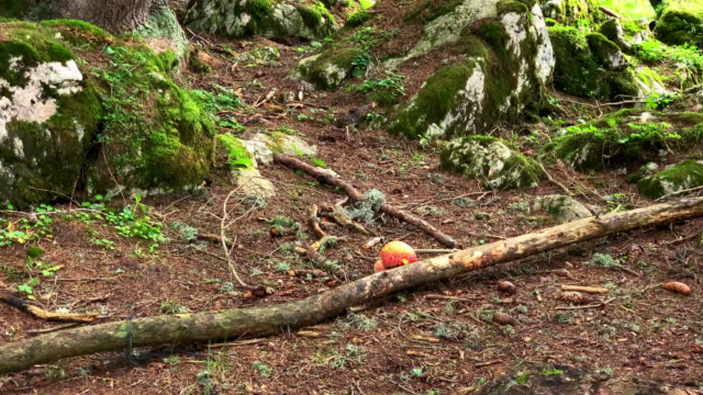 fly agaric in forest - fly agaric stock videos and b-roll footage