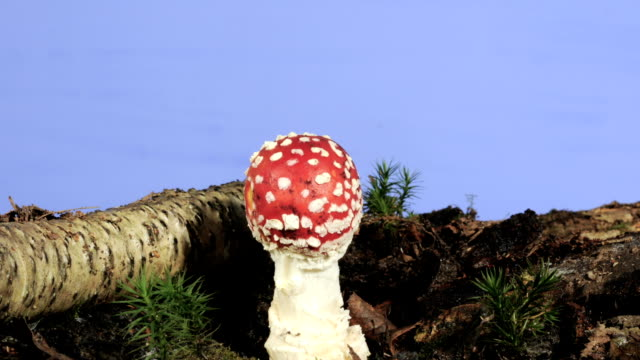 fly agaric mushroom, timelapse - fly agaric stock videos and b-roll footage