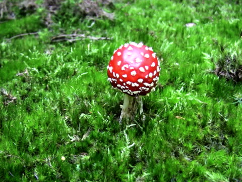 ntsc: fly agaric mushroom - fly agaric stock videos and b-roll footage