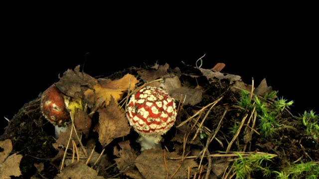 fly agaric mushrooms growing - fly agaric stock videos and b-roll footage