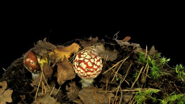 Fly agaric mushrooms growing