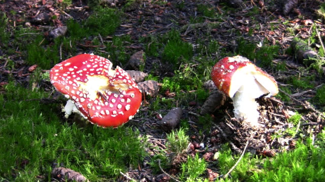 fly agaric mushrooms - fly agaric stock videos and b-roll footage