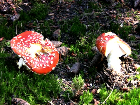 ntsc: fly agaric mushrooms - fly agaric stock videos and b-roll footage