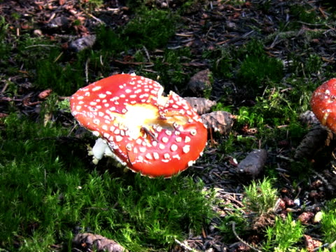 pal: fly agaric mushrooms - fly agaric stock videos and b-roll footage