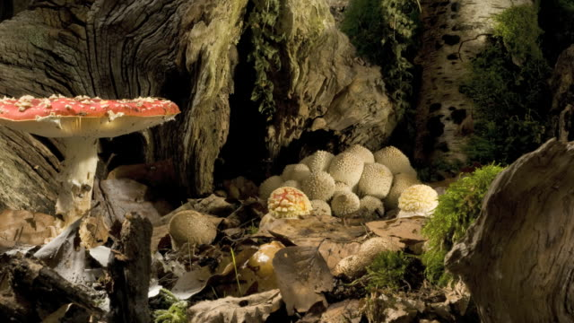 fly agaric toadstools (amanita muscari) growing - fly agaric stock videos and b-roll footage