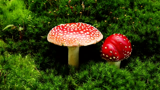 fly amanita - fly agaric stock videos and b-roll footage