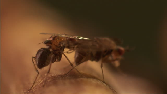 a fly attempts to mate with another fly that continues to groom its legs. - gliedmaßen körperteile stock-videos und b-roll-filmmaterial