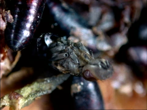 cu fly emerging from pupae using expandable head, england - stubenfliege stock-videos und b-roll-filmmaterial