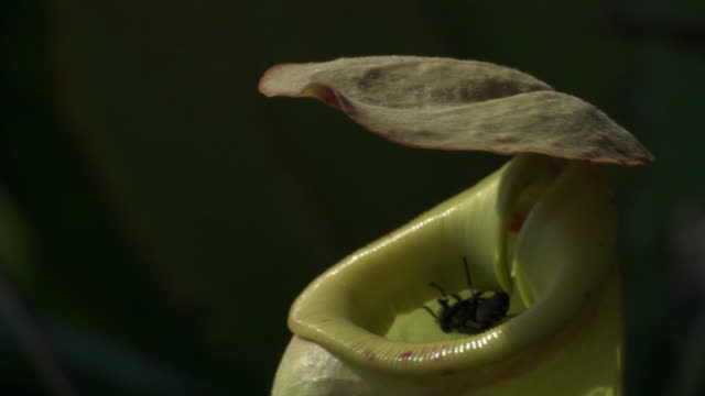 fly (diptera) enters pitcher plant urn (nepenthes), madagascar - carnivorous plant stock videos and b-roll footage