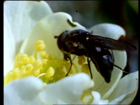 cu fly feeding on flower of arctic rose, greenland - pollination stock videos & royalty-free footage