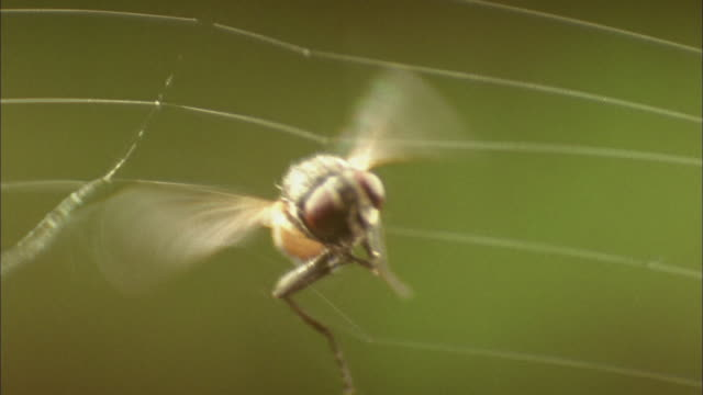 fly gets caught in spiders web available in hd. - spider web stock videos & royalty-free footage