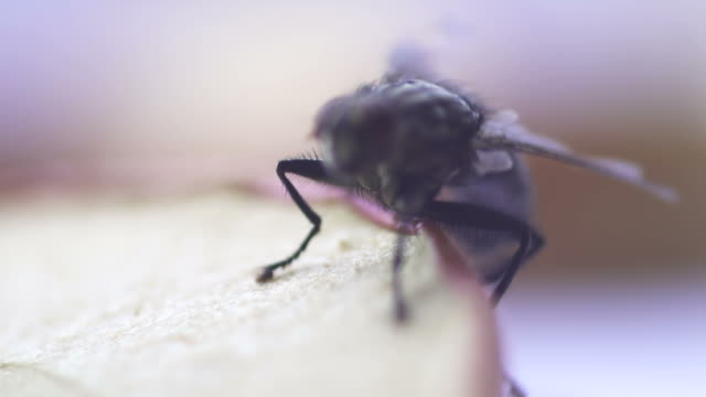 slow motion: fly housefly insect macro - housefly stock videos & royalty-free footage