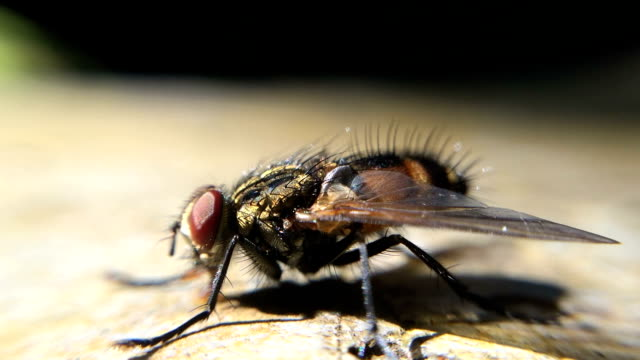 fly insect - stock video - fly stock videos and b-roll footage