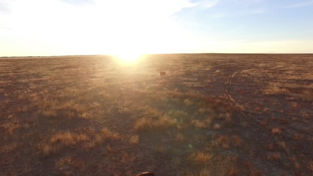 drone fly into sun over cows - 4k drone tracking aerial view wildlife herd hunting, deer, elk, bison, hawk, buck, cows, bird, buffalo, directors choice, editors choice, magic hour, sun flare, grassland, epic - bird hunting stock videos & royalty-free footage