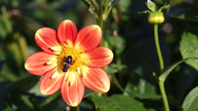 a fly on a dahlia flower in holehird gardens, windermere, uk. - ダリア点の映像素材/bロール