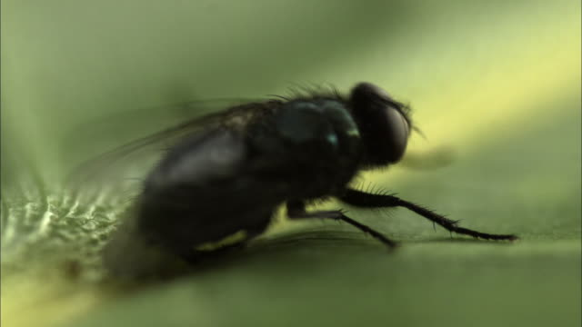 a fly on a leaf beats its wings. - insect stock videos & royalty-free footage
