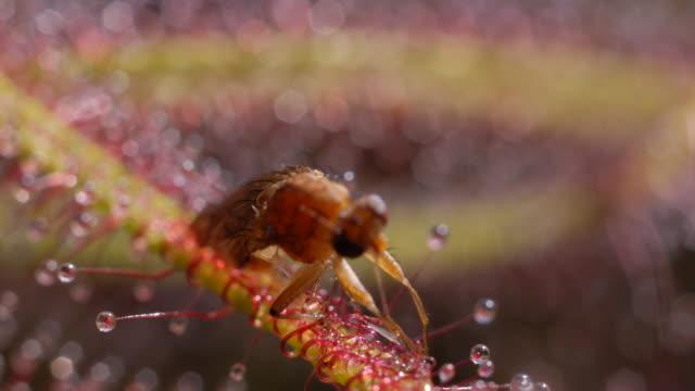vídeos de stock, filmes e b-roll de fly on sundew (drosera binata) - carnivorous plant