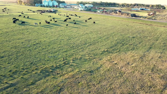 Fly Over Cattle Grazing and Ranch House