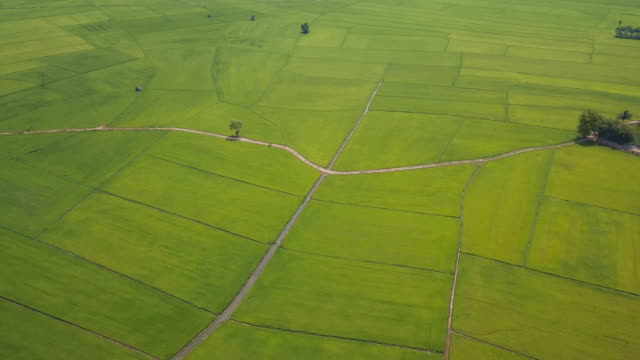 fly over green rice field in summer - parallelo video stock e b–roll
