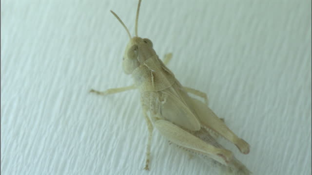 Fly paper holds an albino locust in place.