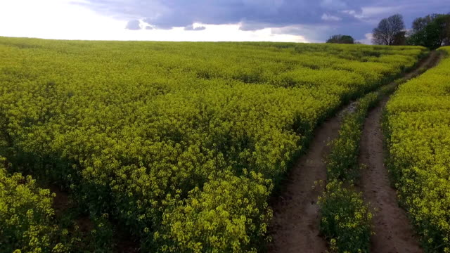 fly the drone over the flax field - poland stock videos and b-roll footage