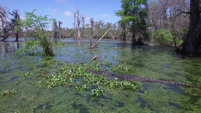 fly up to alligator and orbit to back side - drone aerial 4k everglades, swamp bayou with wildlife alligator nesting ibis, anhinga, cormorant, snowy egret, spoonbill, blue heron, eagle, hawk, cypress tree 4k nature/wildlife/weather drone aerial video - bayou lafourche stock-videos und b-roll-filmmaterial