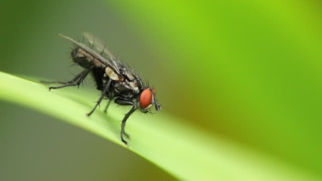 fly - housefly stock videos & royalty-free footage