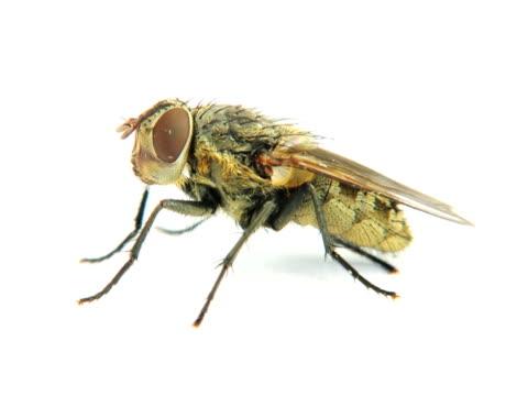 ntsc: fliegen - stubenfliege stock-videos und b-roll-filmmaterial