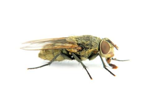 stockvideo's en b-roll-footage met pal: fly - huisvlieg