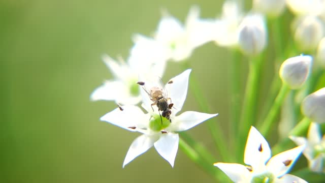 fly with chinese chive flower under sunshine - chive stock videos & royalty-free footage