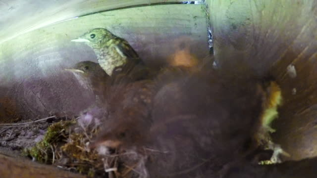 vídeos de stock e filmes b-roll de flycatcher babies in their nest - criação animal