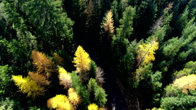 flying above a pine forest - autumn leaf color stock videos and b-roll footage