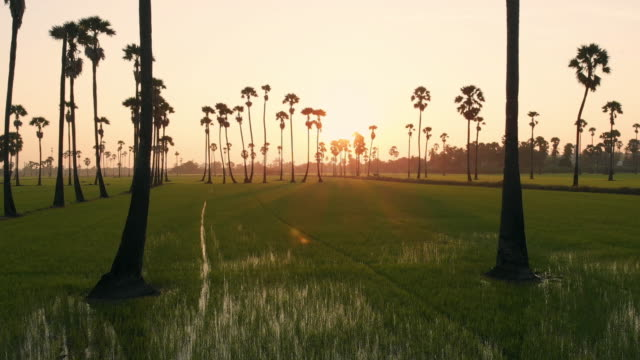 flying above and dolly forward: rice field and palm tree in the sunrise time. - grove stock videos & royalty-free footage