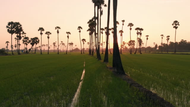 flying above and dolly left: rice field and palm tree in the sunrise time. - rice paddy stock videos & royalty-free footage