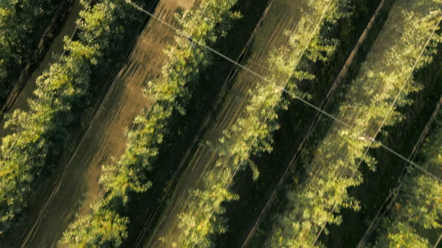 AERIAL Flying Above Apple Orchard