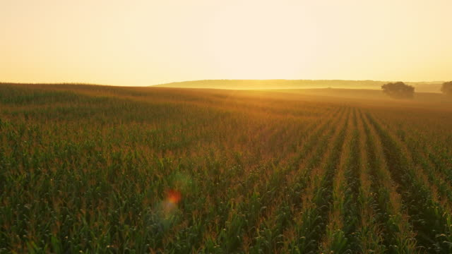 Luftaufnahme über sich fliegen Mais-Feld bei Sonnenaufgang