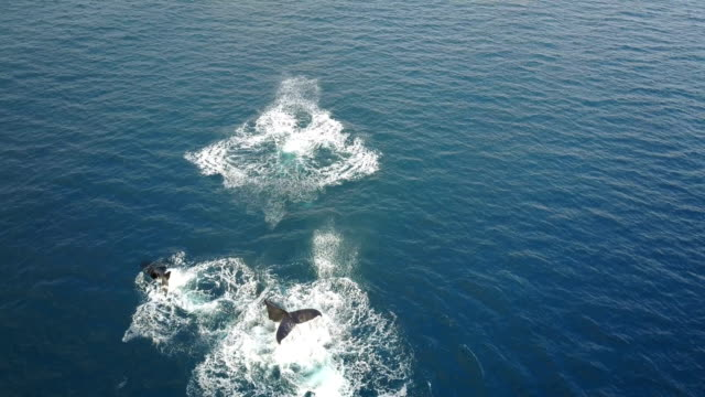 flying above pod of whales breaching off coast of maui island - pod group of animals stock videos & royalty-free footage