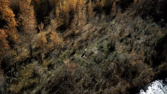 flying above tree area and deer in wilderness - deer stock videos & royalty-free footage