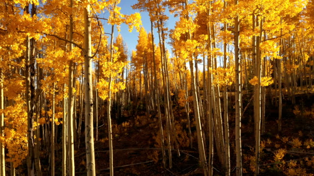 flying among tall aspens in fall by drone - aspen tree stock videos & royalty-free footage