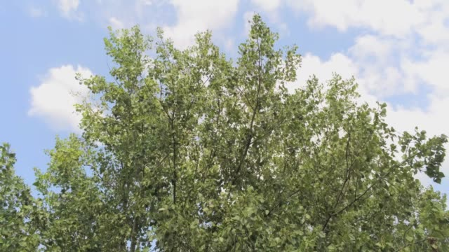 flying away from an elm tree - aerial footage