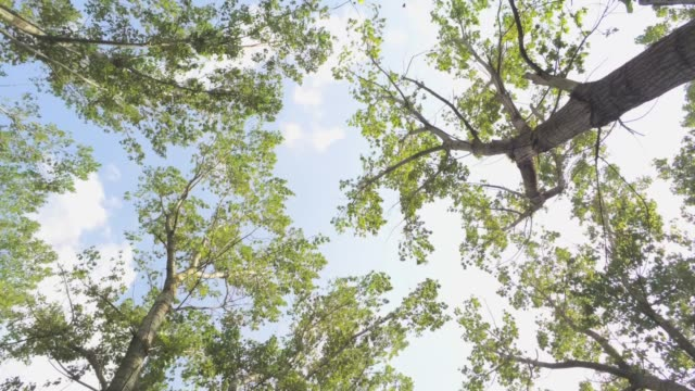 flying backwards below elm trees with camera facing up - aerial footage