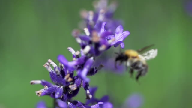 slow motion: flying bee - bumblebee stock videos & royalty-free footage