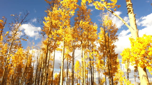 flying below aspens and blue sky in fall in colorado - yellow stock videos & royalty-free footage