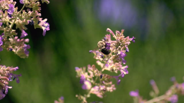 CU PAN SLO MO Flying Bumblebee on purple flowers / Morristown , New Jersey, USA
