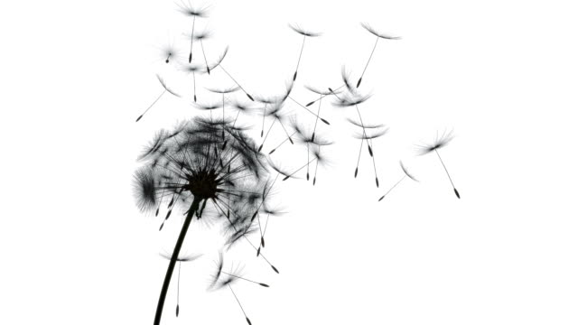 stockvideo's en b-roll-footage met flying dandelions silhouette - blazen